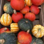 PYO pumpkins at the balloon tree