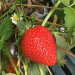 pick your own fruit this summer at the balloon tree farm stamford bridge