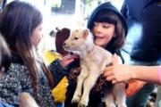 acklam lambs